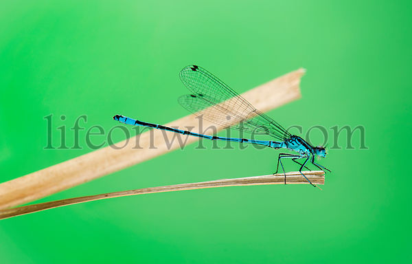 Azure damselfly, Coenagrion puella, on a straw in front of a green background