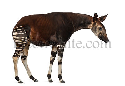 Side view of an Okapi standing, looking down, Okapia johnstoni, isolated on white