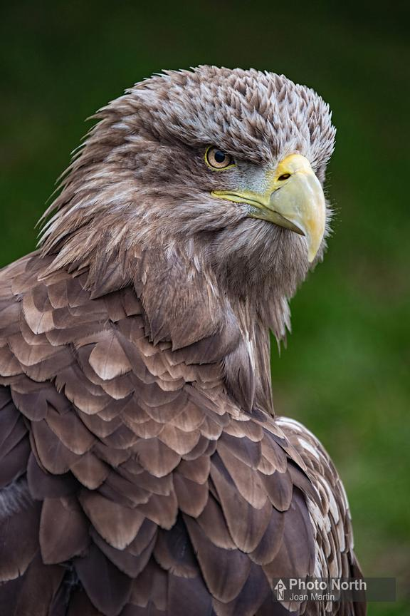 EAGLE 10A - White-tailed eagle