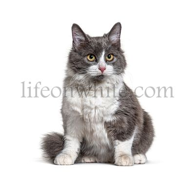 Sitting young Crossbreed cat white and grey