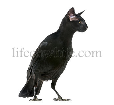 chimera with Carrion Crowand a head of Oriental Shorthair cat on white background