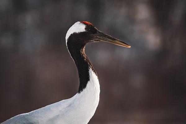 Red-Crowned Crane I