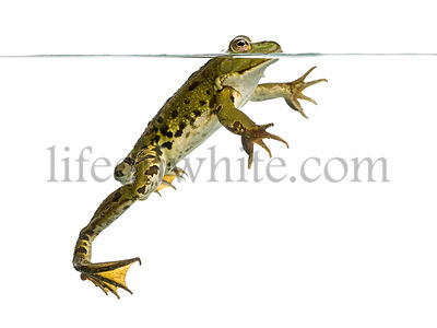 Side view of an Edible Frog swimming at the surface, Pelophylax kl. esculentus, isolated on white