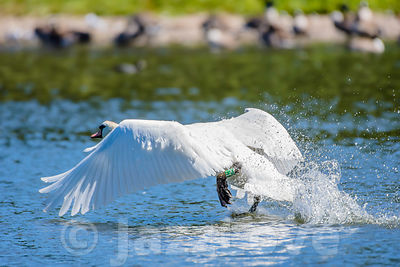 Swan taking off on the lake surface.