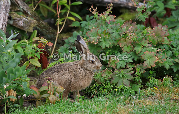 Young European Brown Hare (Lepus europaeus) in the garden, Lake District National Park, Cumbria, England