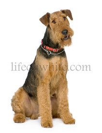 Airedale Terrier (1 year)