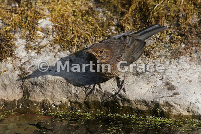 Female Common Blackbird (Turdus merula) with shadow standing on the edge of the garden pond, Lake District National Park, Cum...