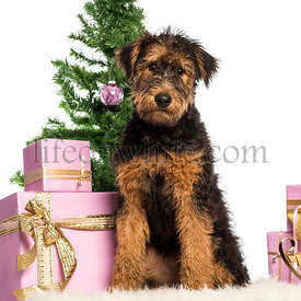 Airedale Terrier puppy sitting in front of Christmas decorations against white background