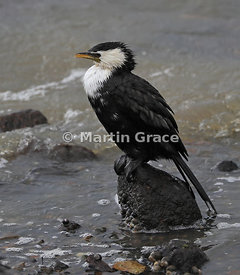 Intermediate morph of Little Shag (Phalacrocorax melanoleucos brevirostris), Dunedin Harbour, South Island, New Zealand