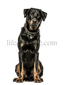 Beauceron sitting down, isolated on white background
