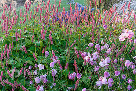 Persicaria amplexicaule 'Fire Dance', anemone hupehensis