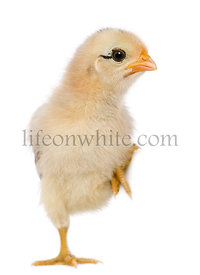 Chick, 15 days old, standing on one leg in front of white background