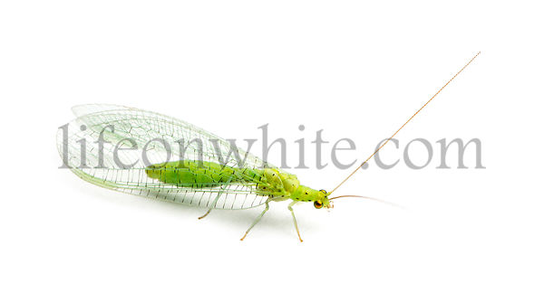 View from up high of a Common green lacewing, Chrysoperla carnea, isolated on white