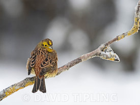 Yellowhammer  Emberiza citrinella Finland winter