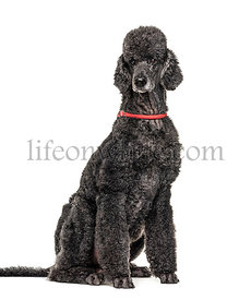 Black sitting Poodle, isolated on white
