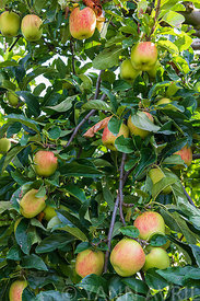 Malus- 'Delbard summer' apples on the tree in an orchard in summer∞Pommes 'Delbar estival' sur l'arbre, dans un verger, Franc...