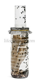 Fly breeding bottle in front of white background