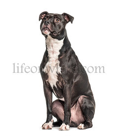 American Staffordshire Terrier, looking up, isolated on white