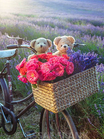 Two teddy bears in a basket with flowers on a bicycle in a lavender field
