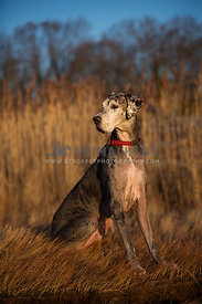 great dane, outdoor, sitting, senior dog, attentive