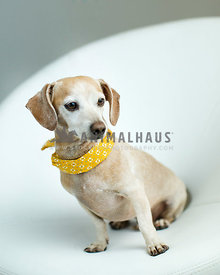 Cute dachshund mix breed older dog with yellow bandana scarf sits on a white chair in the studio with a gray background