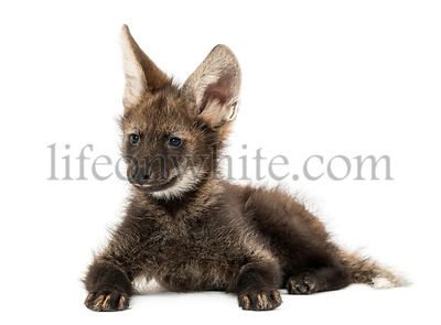 Maned Wolf cub lying down, Chrysocyon brachyurus, isolated on white