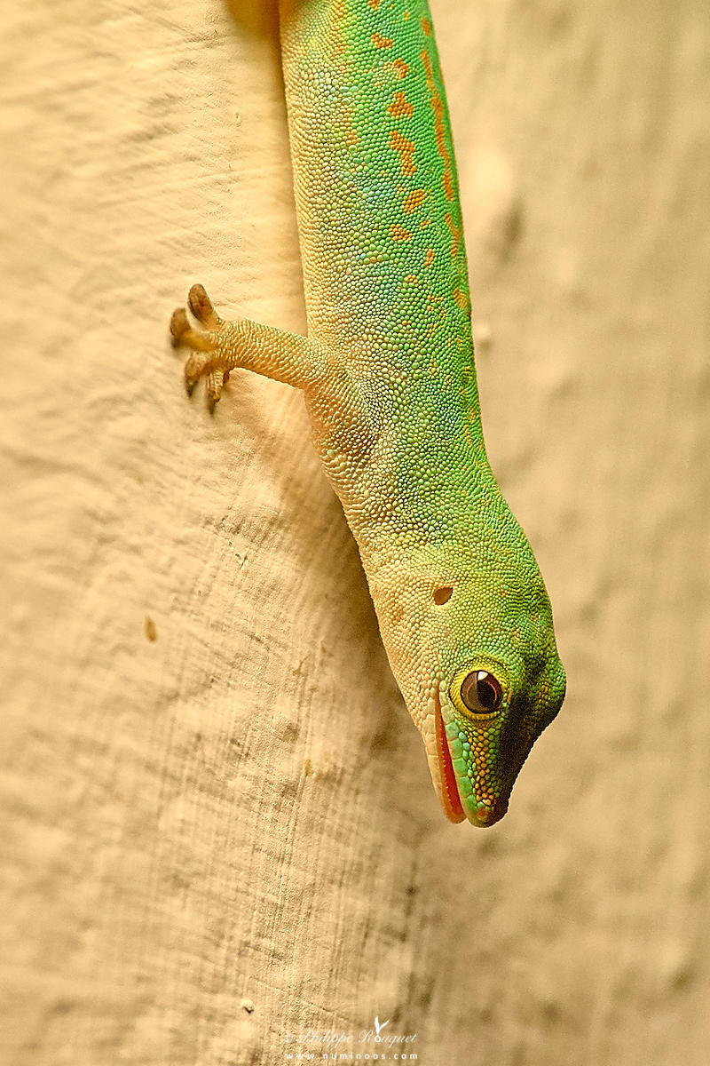 Small Day Gecko in night stalk