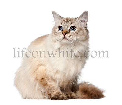 Ragdoll, 10 months old, sitting against white background