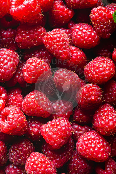 Farm Fresh Raspberries  - fresh picked.