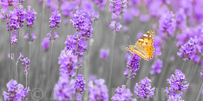 Butterfly Lavender flowers