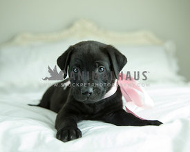 Black puppy with pink satin ribbon lays down on antique bed