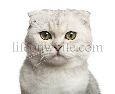 Close-up of a Scottish Fold, looking at the camera, 7 months old, isolated on white