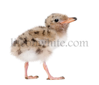 Common Tern chick - Sterna hirundo (7 days old)