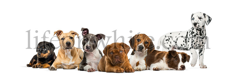 Group of puppies lying in front of a white background