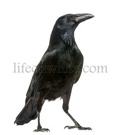 Carrion Crow looking up, Corvus corone, isolated on white