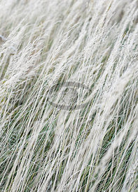 Grasses by Weber