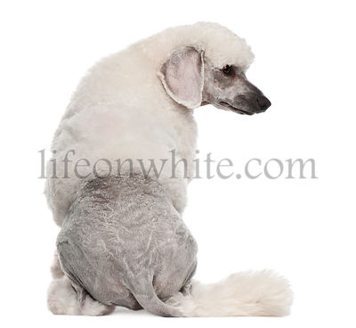 Rear view of Poodle, 1 year old, sitting in front of white background