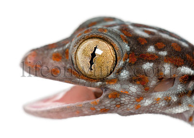 Tokay Gecko, Gekko gecko, close up against white background