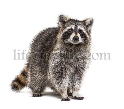 Young Raccoon standing in front and facing, Looking at the camera isolated on white