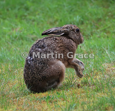 European Brown Hare (Lepus europaeus) grooming and shadow-boxing, Cairngorm National Park, Scotland: Image 8 of a sequence of 13