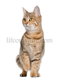 Young Bengal cat, 7 months old, standing