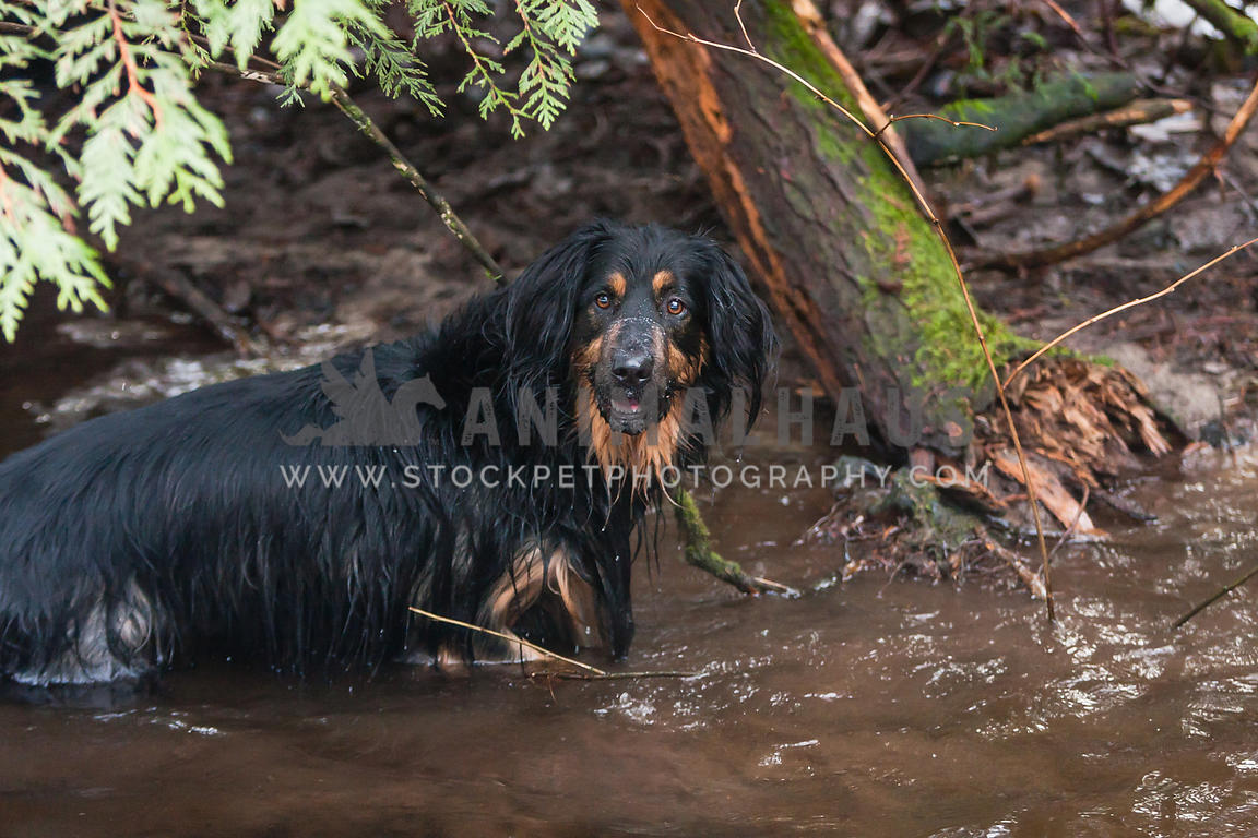 black  dog in the stream in the forest fishing