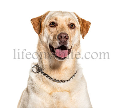 Headshot of a panting Labrador, isolated on white
