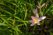 Autumn crocus hidden in high grasses