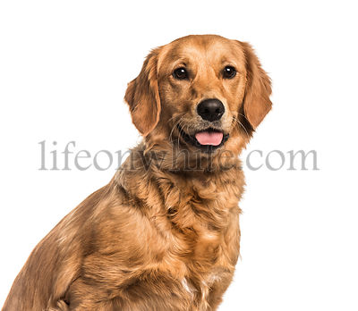 Golden Retriever , 10 months, looking at camera against white background