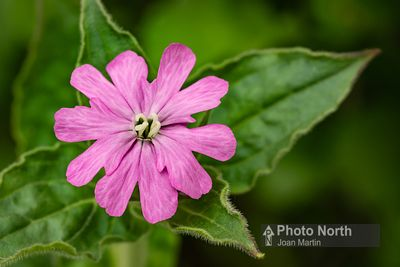 CAMPION 01 - Red campion
