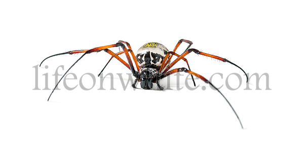 Nephila inaurata, commonly known as the red-legged golden orb-weaver spider or red-legged nephila, in front of white background