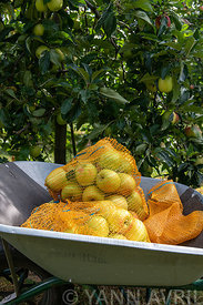 Malus-'Summer Delbard' apple fillets in a wheelbarrow in summer, Pas de Calais, France ∞ Filets de pommes 'Delbar estival', d...