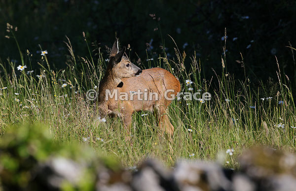 Beyond the garden wall: Roe Deer doe (Capreolus capreolus) in a South Lakeland grazing meadow, Lake District National Park, C...