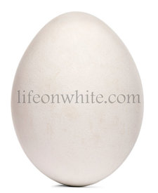 Egg of Griffon Vulture, Gyps fulvus, in front of white background